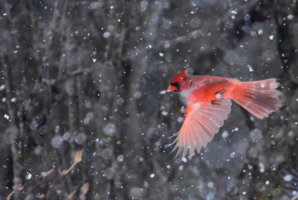 Male Cardinal Flying Through Snow_2