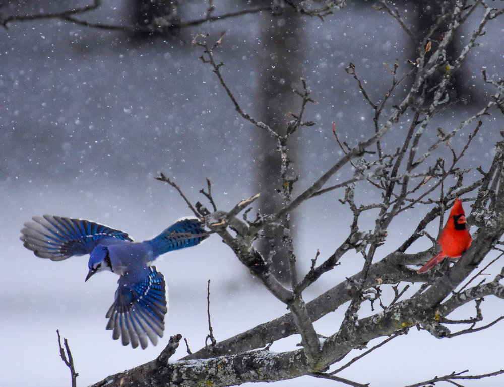 Male Cardinal in Tree and Blue Jay in Flight