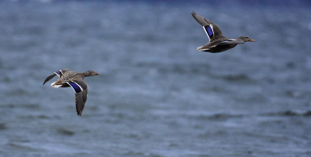Female Mallards in Flight over Lake Champlain