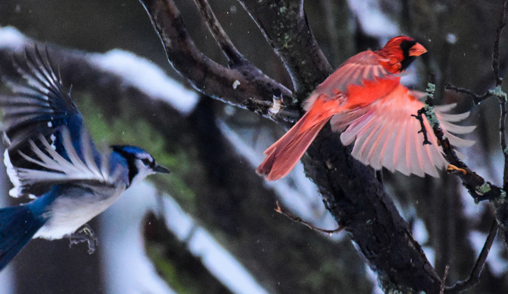 Male Cardinal and Blue Jay in Flight