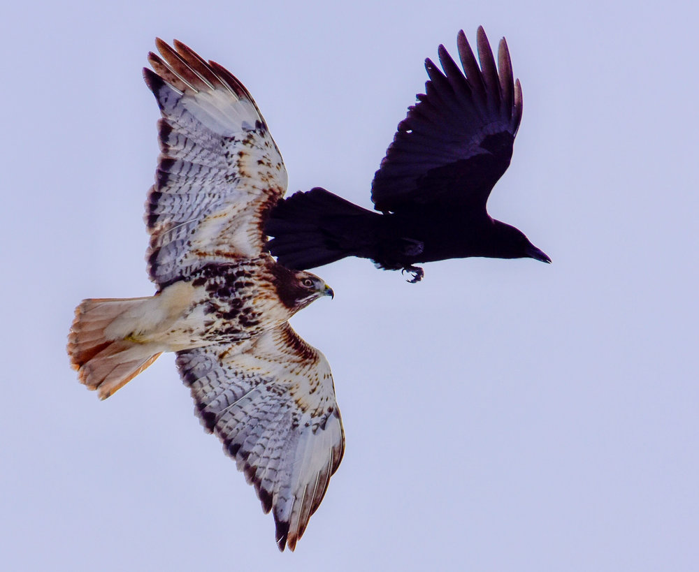 Crow Attacking Red Tail Hawk_1