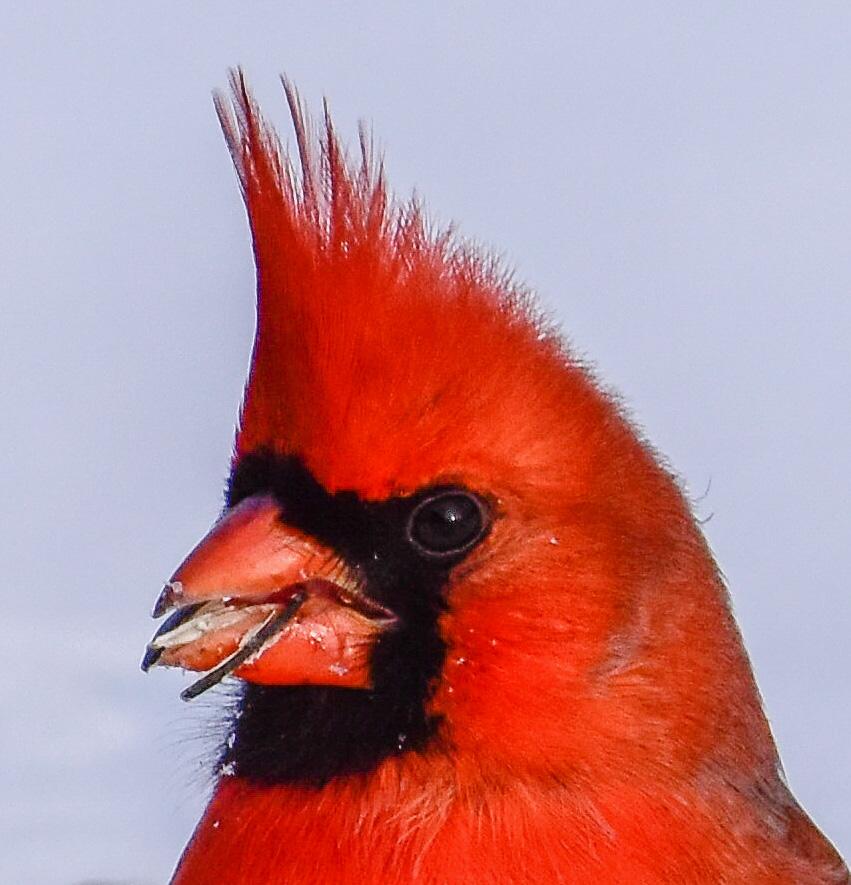 Male Cardinal Closeup