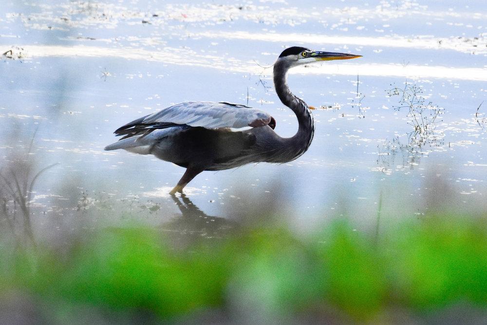 Great Blue Heron in Lake Champlain_1