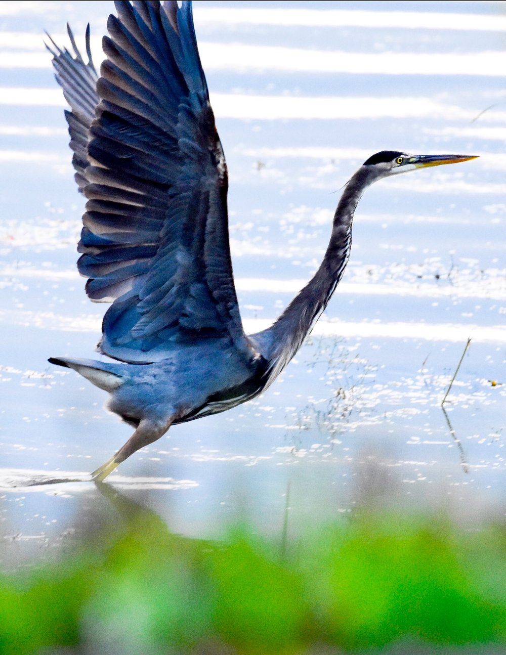 Great Blue Heron Taking Off in Lake Champlain_1
