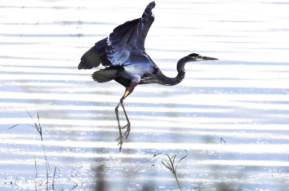 Great Blue Heron Taking Off in Lake Champlain_2