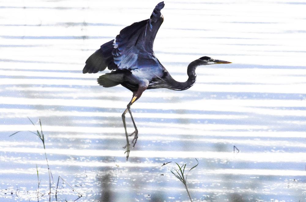 Great Blue Heron Taking Off in Lake Champlain_2