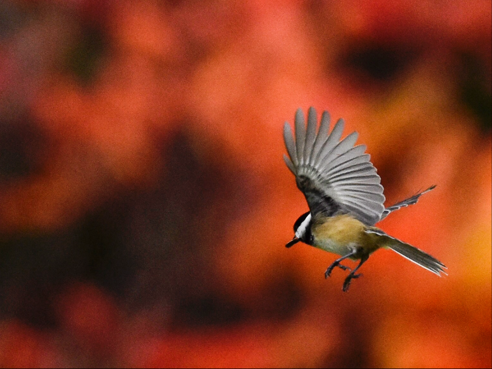 Black-capped Chickadee in Flight with Sumac