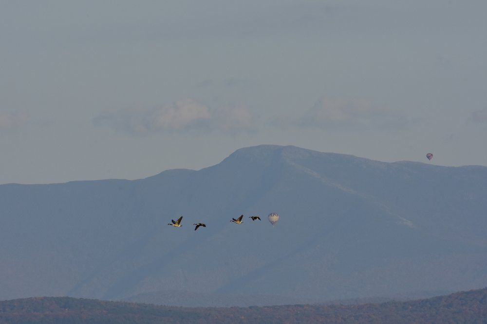 Hot Air Balloons and Canada Geese_1
