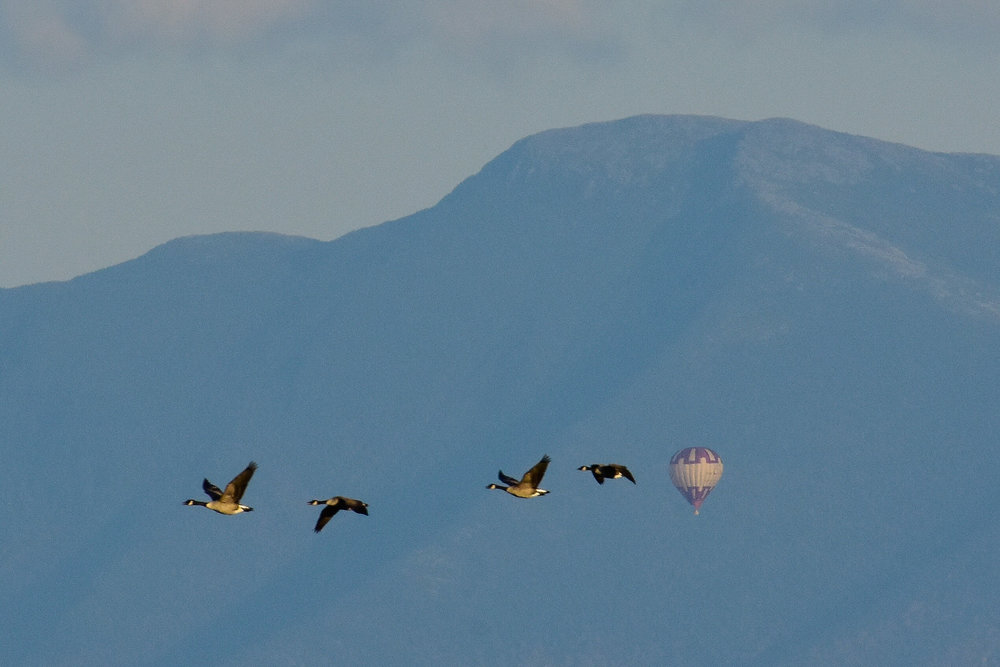 Hot Air Balloons and Canada Geese_cropped