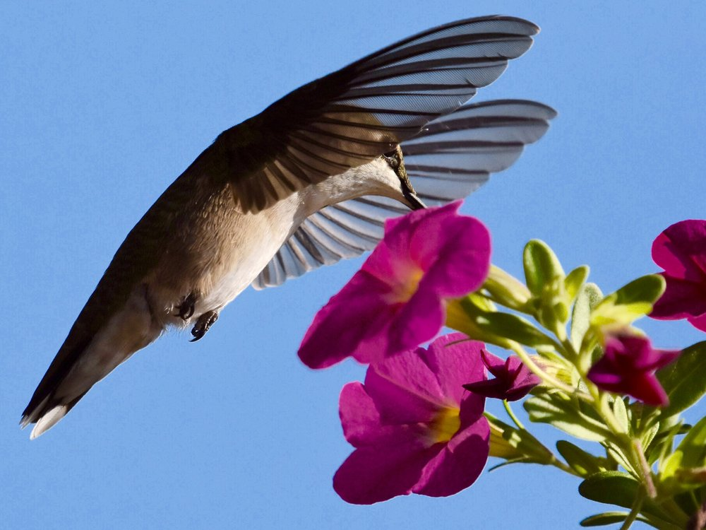 Hummingbird Drinking from Morning Glory