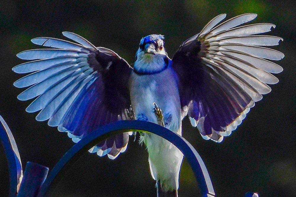 Blue Jay with Winds Spread