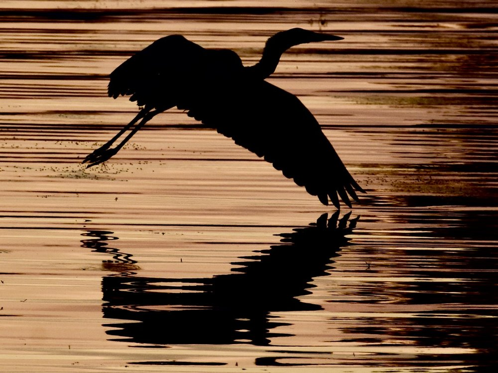 Great Blue Heron in Flight over Lake Champlain