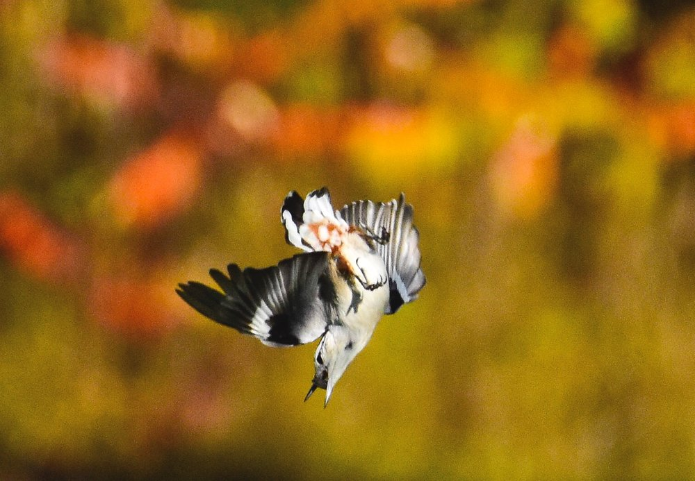 White-breasted Nuthatch Diving