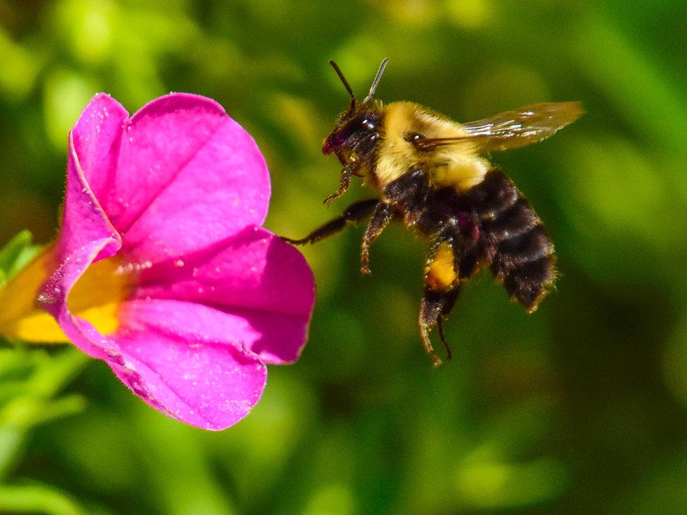Bumblebee in Morning Glory.JPG