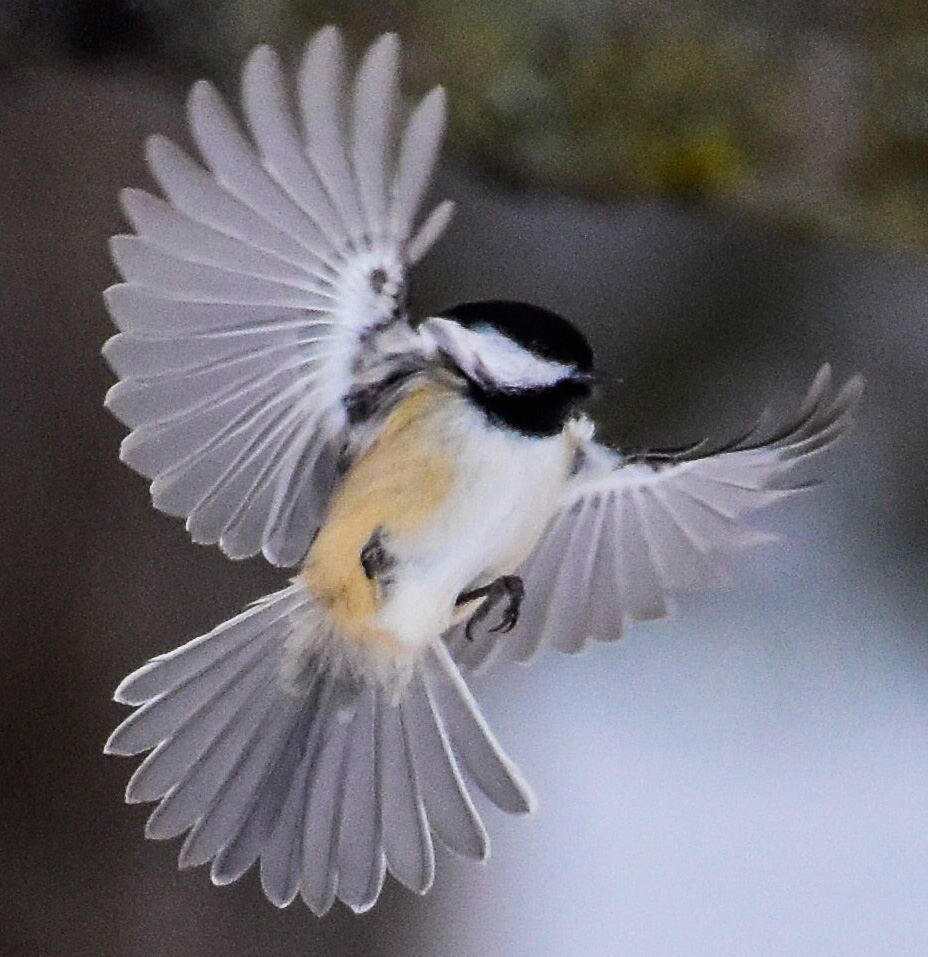 Black-capped Chickadee on the Wing