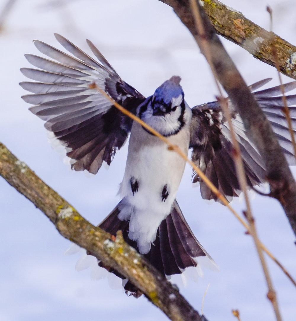 Blue Jay Landing in Tree