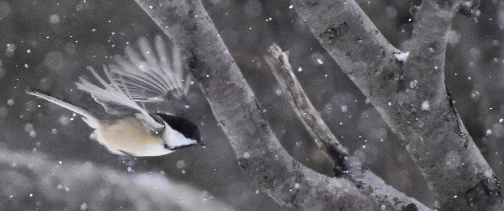 Black-capped Chickadee Flying Through Snow