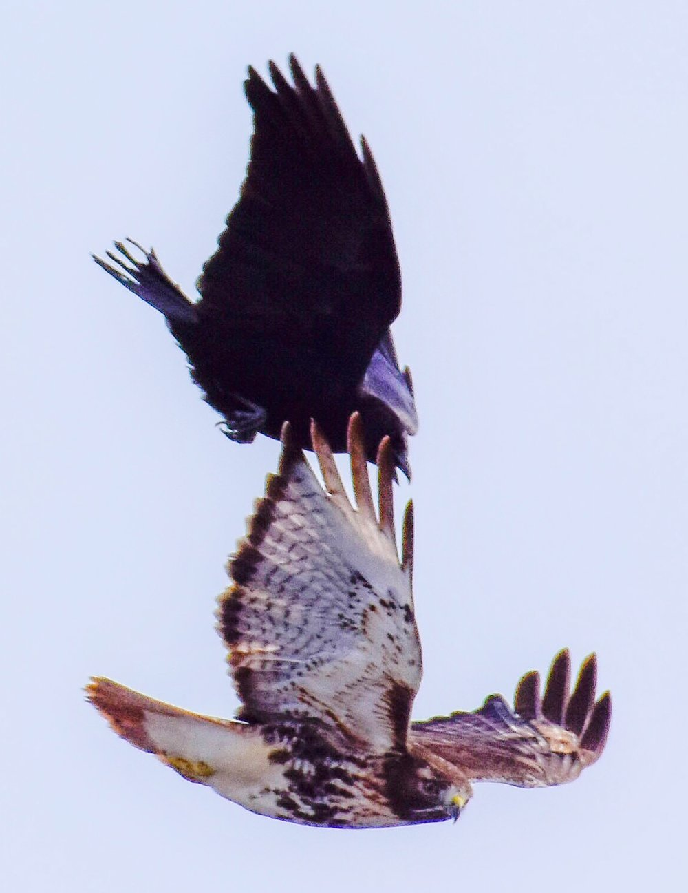Crow Attacking Red Tail Hawk_2