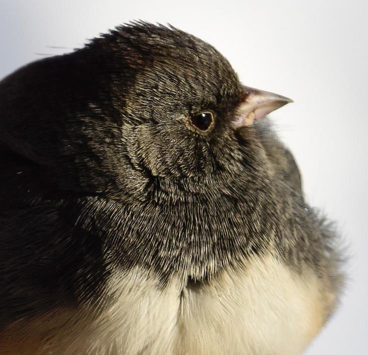 Dark-eyed Junco Closeup