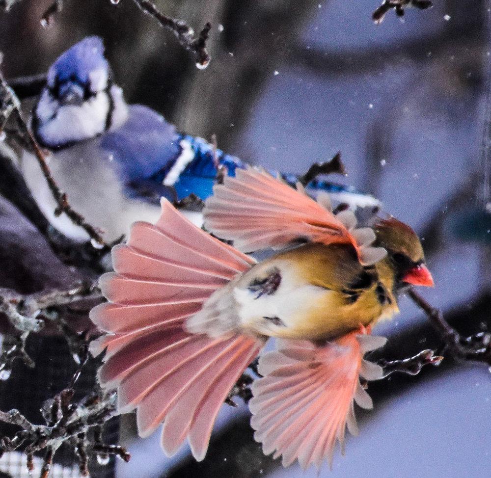 Female Cardinal in Flight with Blue Jay in Tree