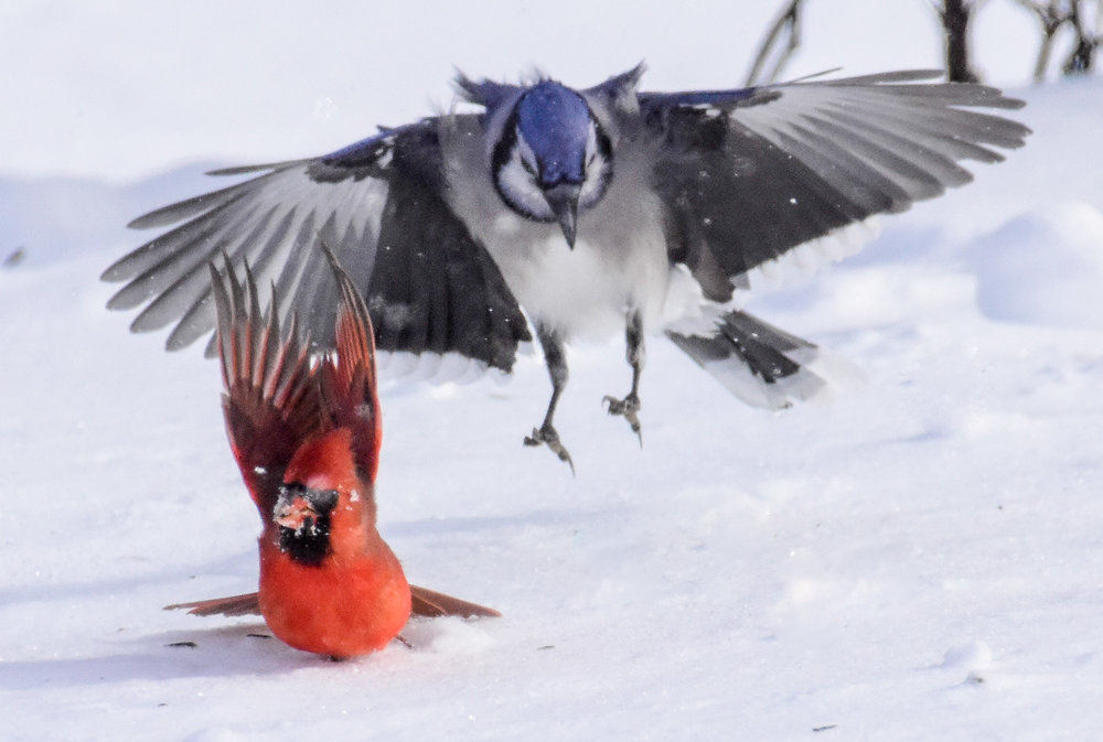 Male Cardinal and Blue Jay Landing on Snowy Ground