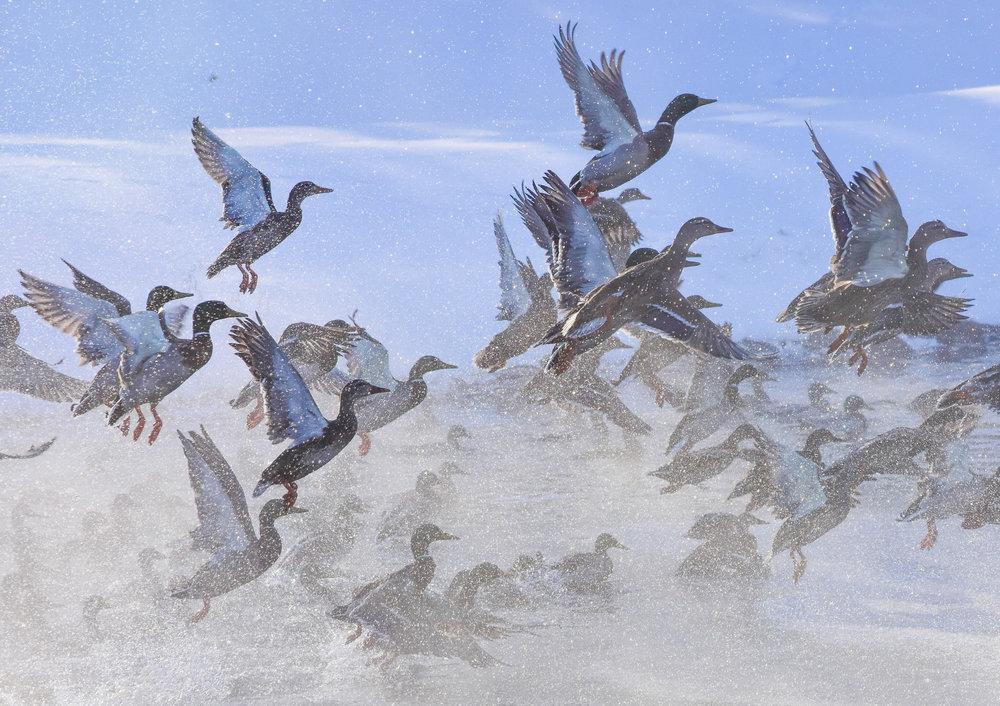 Mallards Taking off over Lake Champlain_3