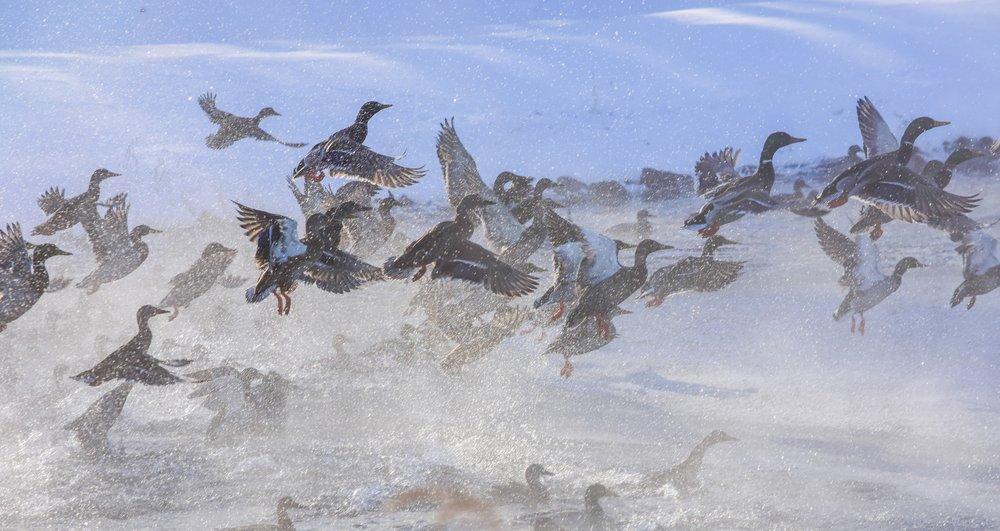 Mallards Taking off over Lake Champlain_4