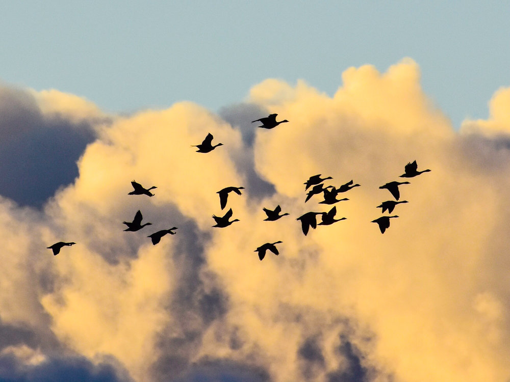 Geese and Clouds_2