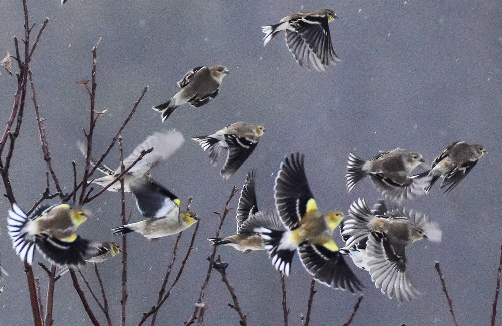 Goldfinches Taking off in the Rain