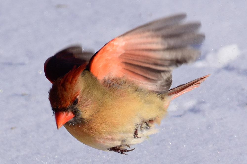 Female Cardinal in Flight_2