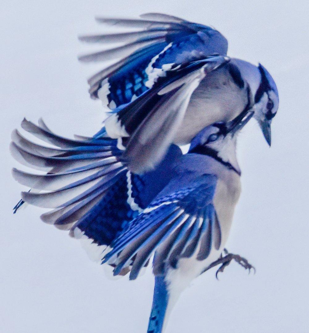 Blue Jays in Midair Collision