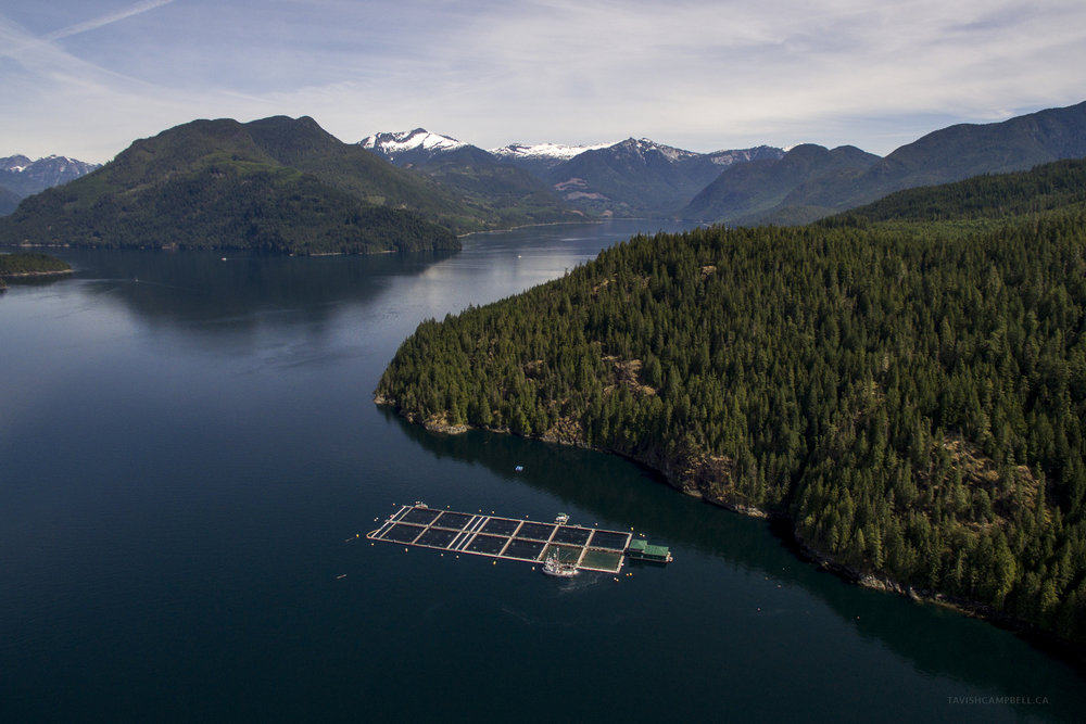 Wild Salmon vs Open Net-Pen Salmon Farms - A lot of our work to protect Pacific salmon focuses on the affects of the many open net-pen salmon farms spreading disease in the channels and bays around our respective homes in the Discovery Islands and the Broughton Archipelago. From photographing lethal levels of sea lice on juvenile salmon out-migrating past fish farms, creating films to expose industry practices like the spread of viruses and disease, documenting fish farm escapements and spills, to documenting Pacific herring swimming into the pens and being eaten by the farmed Atlantic salmon. We have donated images and footage to a multitude of efforts working on removing salmon farms from the ocean to help Pacific salmon thrive on the coast once again.