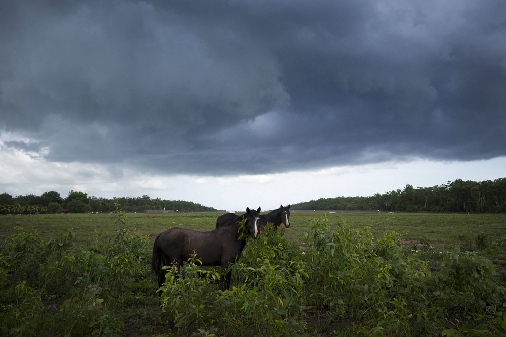 Wild brumbies under stormy skies on Melville Island, Northern Territory.