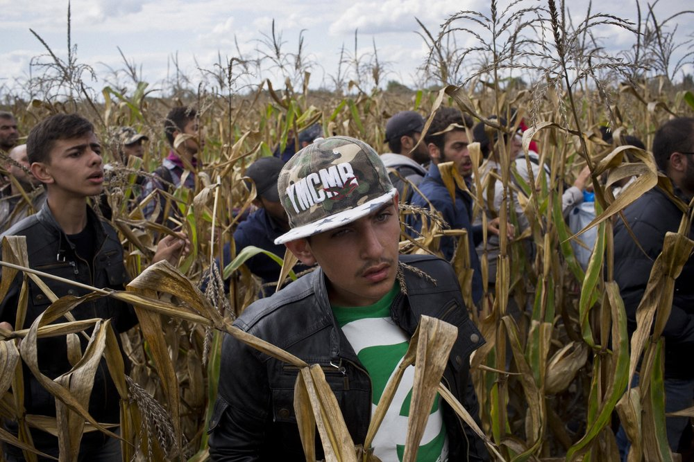 Röszke, Hungary. Refugees flee through cornfields evading police near the Hungary/Serbia border.