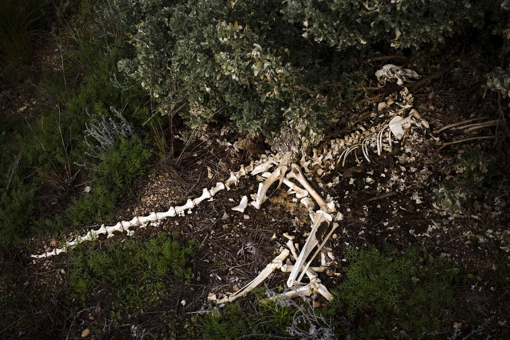 The skeleton of a kangaroo on the side of the Eyre Highway near Madura, Western Australia.