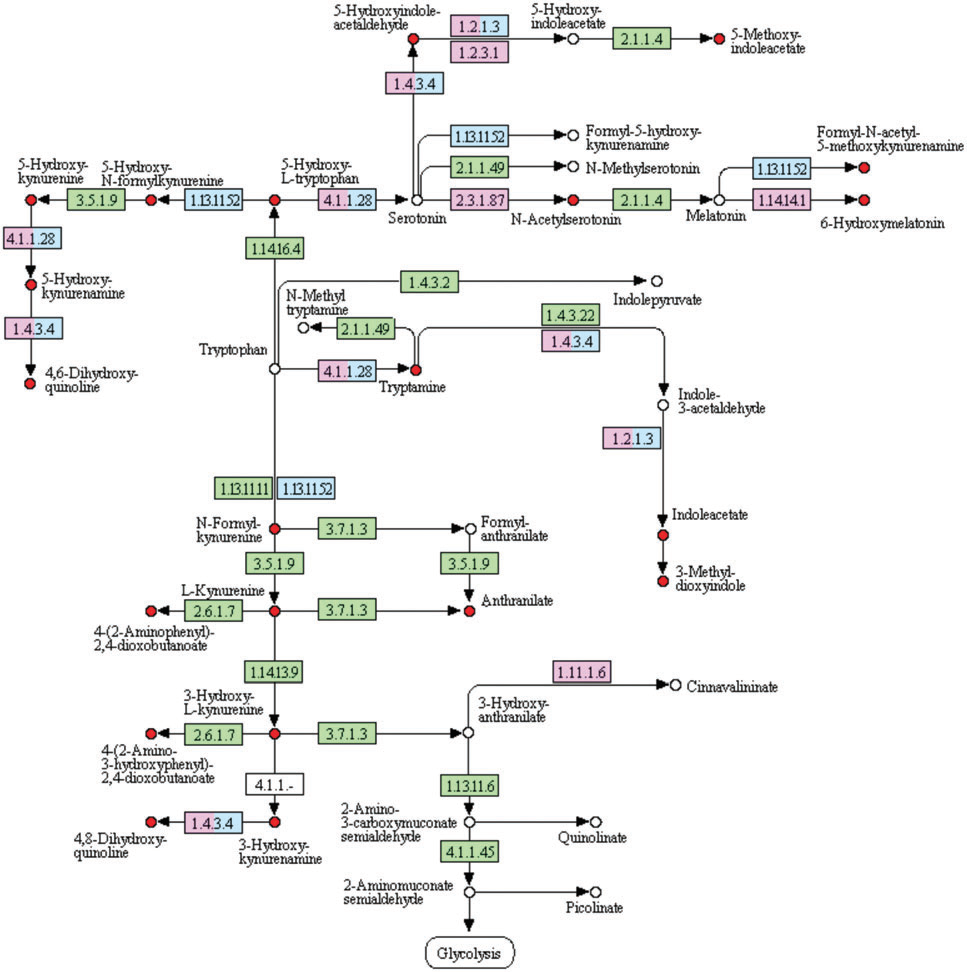 Tryptophan metabolites detected in breath by means of  SESI-HRMS (red). Pink, pathways related to a disease. Blue, reactions related to a drug. Green, other reactions known in Homo sapiens.