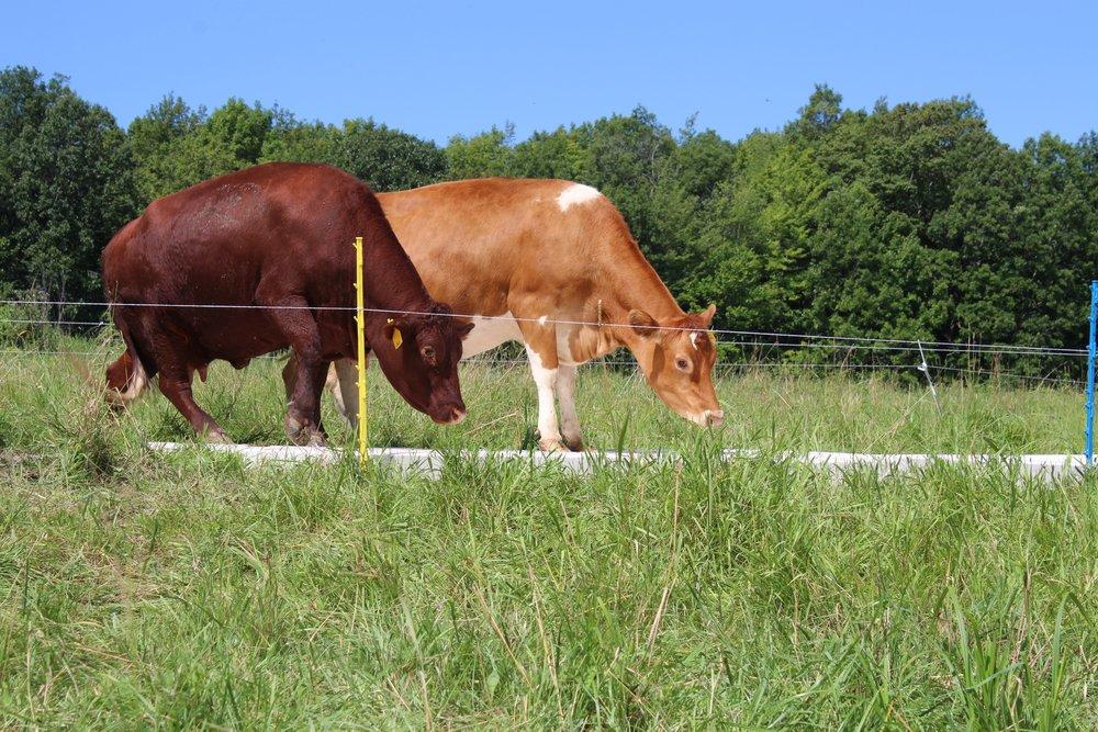 Keira Meiser cow print.jpeg