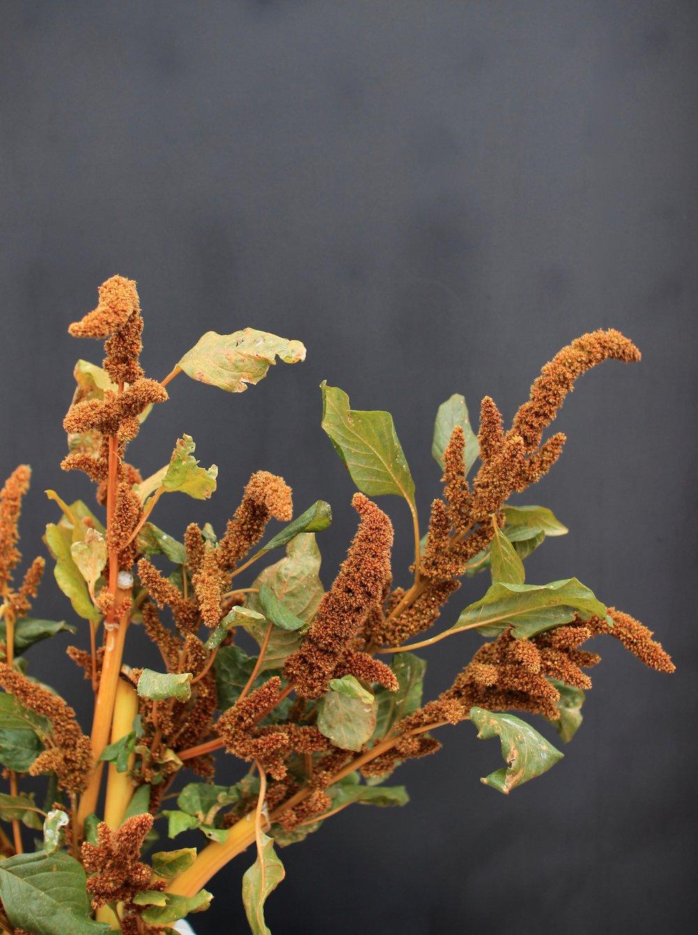 UPRIGHT AMARANTHUS, brown