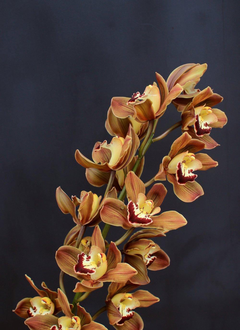 CYMBIDIUM ORCHID, chocolate brown