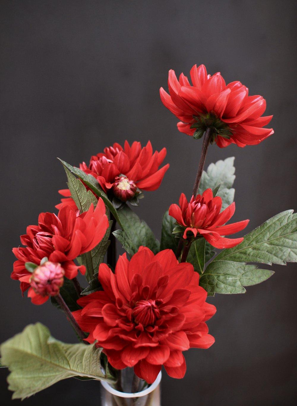 DAHLIAS, red