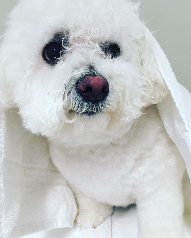 Muff is wondering if it's the weekend yet? #bichonfrise #dogoftheday #petgrooming