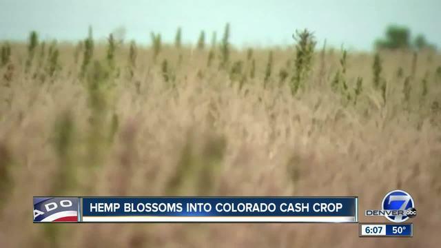Colorado Hemp Growth.jpg