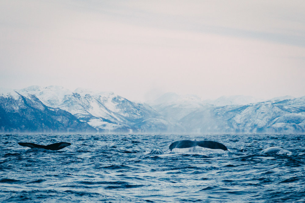 Humpback whale family (Alta Fjord, The Arctic Ocean, Norway)
