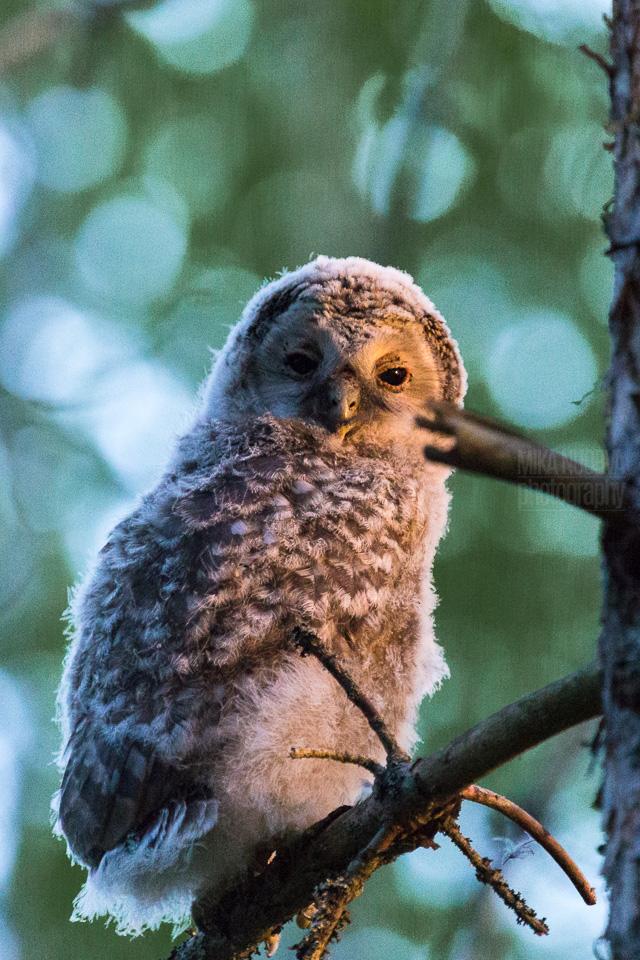 Ural owl baby