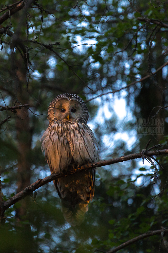 Ural owl mother in sunset