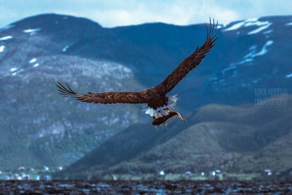Sea eagle fishing II