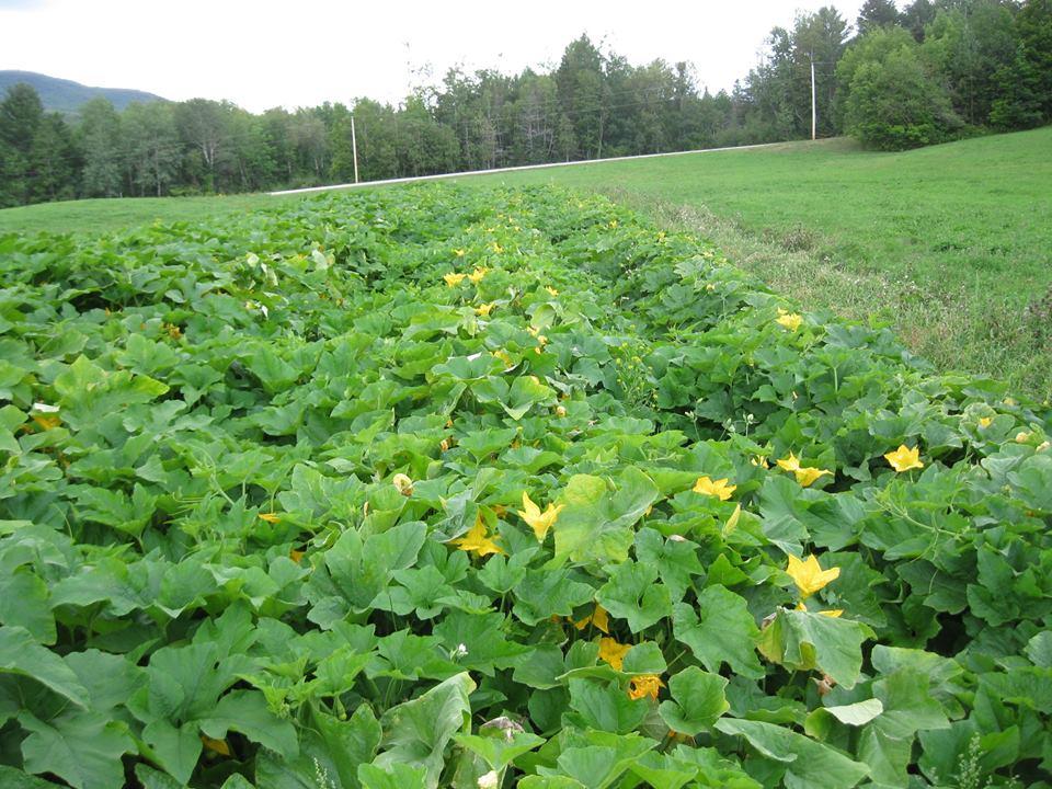 Pumpkins growing.jpg