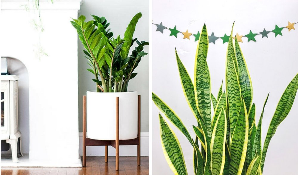 Left photo:  Large Zanzibar Gem  right photo:  Large Snake Plant