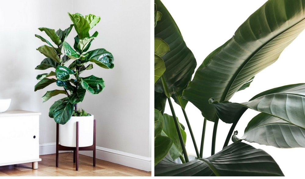 Left photo:  Junior Fiddle Leaf Fig Bush  right photo:  Bird of Paradise