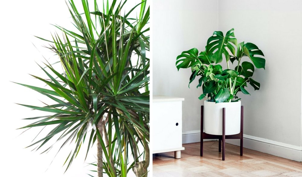 Left photo:  Dragon Tree  right photo:  Monstera Deliciosa